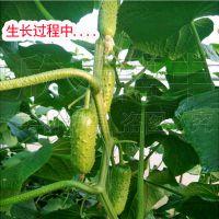 迷你水果黄瓜种子水果型高产甜脆阳台四季小黄瓜专用老品种蔬菜籽