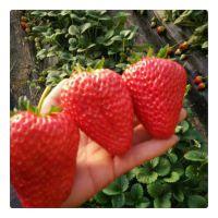 草莓苗品种介绍 草莓苗价格 草莓秧批发 草莓苗基地