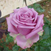 切花玫瑰月季 冷美人 盆栽花卉 切花玫瑰苗 盆栽植物花苗