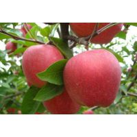 优质苹果苗批发3元 安徽润丰苗木
