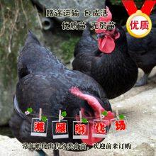 厂家直销黑土鸡苗山地放养林下虫子鸡崽包运输成活做液氮马立克