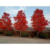 富丽银杏苗木(图)-求购15公分美国红枫-15公分美国红枫