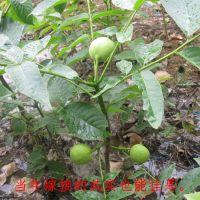 基地批发优质香玲核桃树 规格齐全 专业嫁接 品种保证核桃树