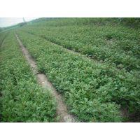 供应优质大红袍花椒苗规格全花椒种苗二年苗