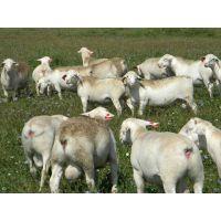 天津市育肥羊的预混料