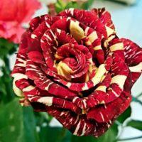 批发球状月季花 流星雨 新品种 创意花卉 大花月季 量大优惠