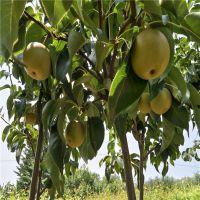 梨苗梨树苗嫁接苗果树苗黄金梨盆栽地栽南北方种植当年结果