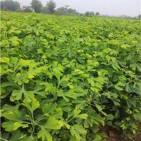 四川银杏基地,大量供应精品银杏树,苗。