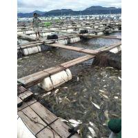 穗乐鲜大黄鱼--鑫隆渔场夜间大饱眼福!海里捞黄金!