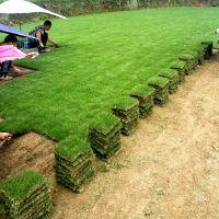 马尼拉草皮 湖南衡阳楼盘环境绿化用的绿化草坪出售价格 优惠促销