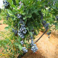 蓝莓树苗价钱 蓝莓苗多少钱一棵 产地直供 现挖现卖