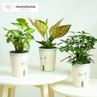 MMH盆栽绿植植物室内办公室桌面花卉植物绿植富贵竹竹柏万年红
