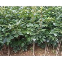 牛心柿子苗今年价格 牛心柿子苗品种种植