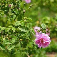 批发玫瑰花苗 大马士革蔷薇苗 月季工程苗 量大优惠