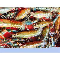 澳洲淡水龙虾加盟澳洲龙虾淡水养殖无锡龙澳生态农业发展有限公司