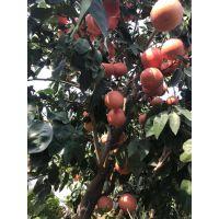 精品红宝石葡萄柚苗种苗种植技术