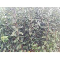 梨树苗多少钱一棵 今年价格 梨树苗怎么培育/正一园艺场/