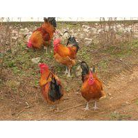资阳土鸡市场行情土鸡价格养土鸡是否赚钱
