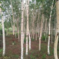 辽宁供应 白桦树 价格合理 规格齐全