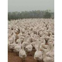 鹅苗-鹅雏孵化厂-哪里批发鹅苗