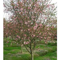 垂丝海棠阳台庭院种植物绿化观赏树