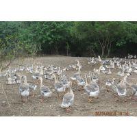 广东珠海脱温鹅苗出售 法国朗德鹅苗价格多少钱一只 哪里有鹅苗买