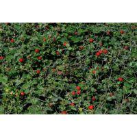 青州丽都蛇莓小苗蛇莓品种报价