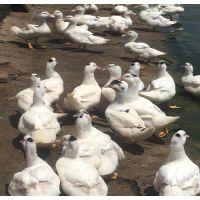 南宁市隆安县-小土鸡苗多少钱一只-贵州鸭苗-河南鹅苗