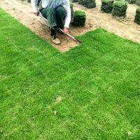 马尼拉草坪 广西边坡绿化治理用的结缕草种子批发价格 放心省心