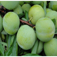 贵州六马蜂糖李树苗 清脆李子苗果树苗 李子苗价格 蜂糖李树苗种植技术
