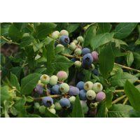供应郑州果树研究所优质蓝莓苗