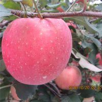 哪里有卖烟富8号苹果苗的 晚熟苹果树苗批发基地 量大从优