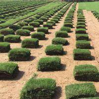 马尼拉草皮 贵州赤水学校操场草皮出售价格 哪里有卖