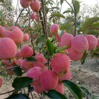 烟台红富士苹果树苗新品种 矮化 嫁接苹果树苗 大红富士苹果树苗