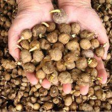半夏种子 今年种植旱半夏亩产效益怎样