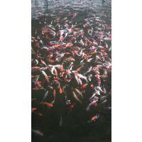 锦鲤多少钱一条鲜活水产供应养殖基地