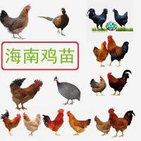 海南山鸡市场价格,山鸡养殖技术