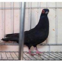 熊猫金鱼鸽 小金鱼活体 黑色金鱼鸽批发 养殖鸽子
