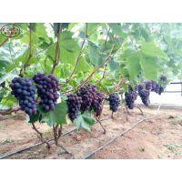 甜蜜蓝宝石葡萄树苗出售信息、早霞玫瑰葡萄苗质优价廉