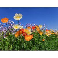 供应广西景观花卉种子打造四季花常开美丽园林城市