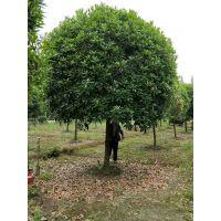 夏季桂花树起苗技巧,16公分八月桂工程苗发往贵州