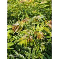 大棚种植香椿树苗 致富好项目