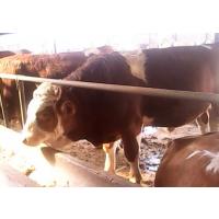 肉牛育肥专用料预混料