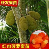正宗泰国红肉菠萝蜜苗 嫁接红肉菠萝蜜果树苗水果树苗品种正宗优质