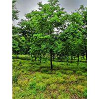 17公分榉树价格15公分榉树多少钱一棵