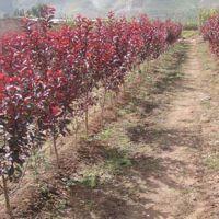 榆叶梅庭院绿化植物 树基地直销 喜光耐寒 根系发达 量大优惠