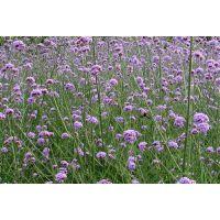 宿根花卉,【马鞭草盆栽苗】,马鞭草