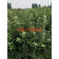 苹果:藤牧一号意大利早红、红将军、美国8号、啦嗄、临红l号、短枝红副士、及各类矮化品种。