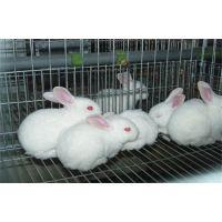 青岛兔子养殖加盟蓝兔子苗多少钱一只天翎农业发展有限公司