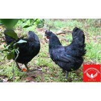 禽天下五黑鸡供应
